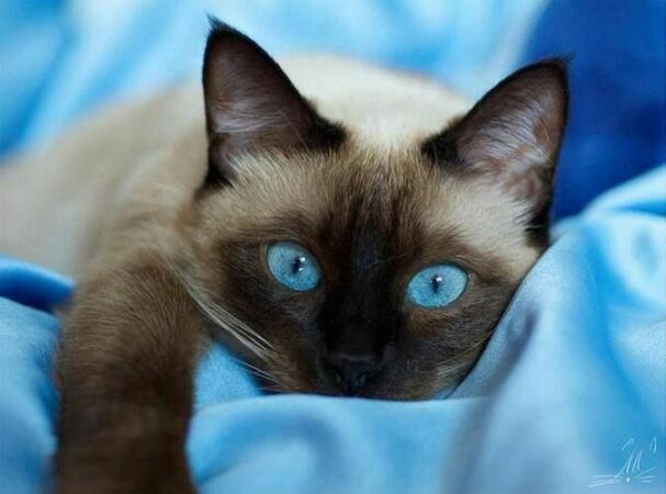 chatte siamoise aux yeux saphir