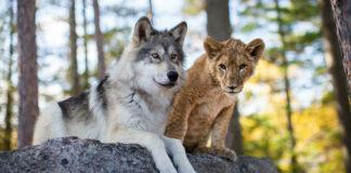 le loup et le lion film